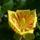 Tulipánfa (Liriodendron tulipifera)