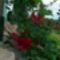 kerti virágaim