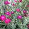 Nyuszifül virág