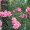 csodás rózsám