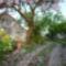 A császárfa virágszirom hullása...