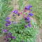 Harangvirág2