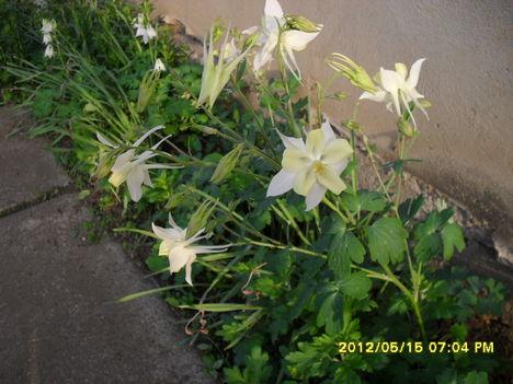 Tavaszi virágok 2012 016