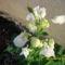 Tavaszi virágok 2012 018