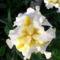 Tavaszi virágok 2012 048
