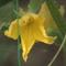 uborkavirág