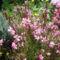 gyertyavirág 01
