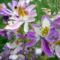 lepkevirág vagy szegények orhideája