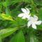 Cejlon növényvilága 17