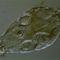 Ellapított kerekesféreg