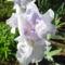 Nyílnak az Iriszeim , nőszirom 1