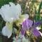 Nyílnak az Iriszeim , nőszirom 3