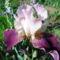 Nyílnak az Iriszeim , nőszirom 6