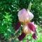 Nyílnak az Iriszeim , nőszirom 8