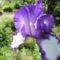 Nyílnak az Iriszeim , nőszirom 9