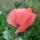 Piros-virágú mák