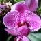 Lepke Orchidea 1