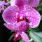 Lepke Orchidea 2