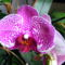 Lepke Orchidea 4