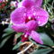 Lepke Orchidea 6