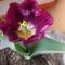 Holland tulipán.