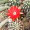Kaktusz virága.DSCF5394