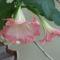Trombita virág.