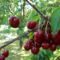 cseresznye1