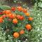egy tő bársonyvirág