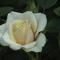 fehér minirózsa