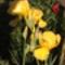 írisz pünkösdi rózsával