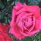 rózsa eső után