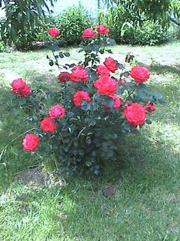 rózsatő az előkertben