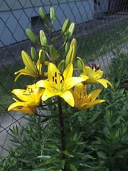 sárga liliom
