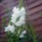 gyertyavirág