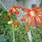 mexikói csillag  bessera elegans