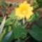 napraforgó virág