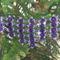 lilás kék