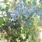 otteló szőlő