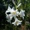 Lepke Orchidea  / Idös tövek/ 1
