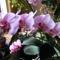 Lepke Orchidea  / Idös tövek/ 2