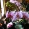 Lepke Orchidea  / Idös tövek/ 3
