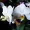 Lepke Orchidea  / Idös tövek/ 4