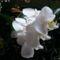 Lepke Orchidea  / Idös tövek/ 5