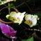 Lepke Orchidea  / Idös tövek/ 6