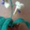 orchidea5