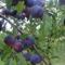 Szilvacseresznye