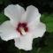 Mályva cserje virágja