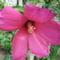 Mocsári  hibiszkusz virágja