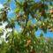 őszibarack fa